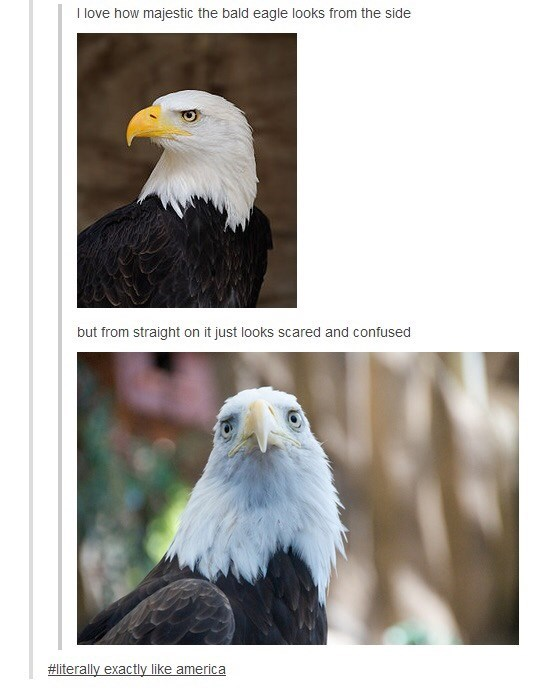 Bird - I love how majestic the bald eagle looks from the side but from straight on it just lookss scared and confused #literally exactly like america