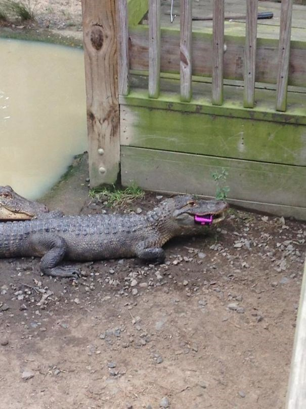 Alligator that ate some kid's toy