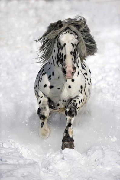 white and black spotted appaloosa horse running through snow