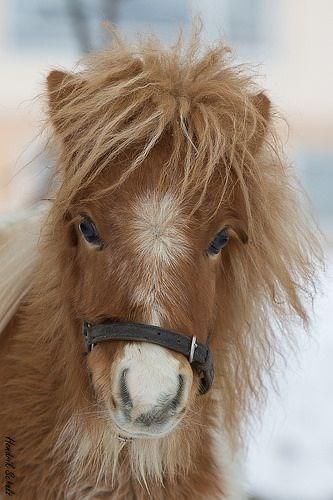 fluffy chestnut shetland pony with a white nose
