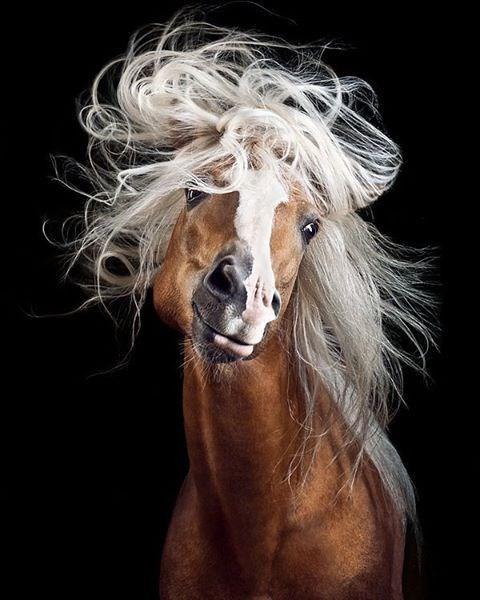 chestnut horse with white hair waving its mane around