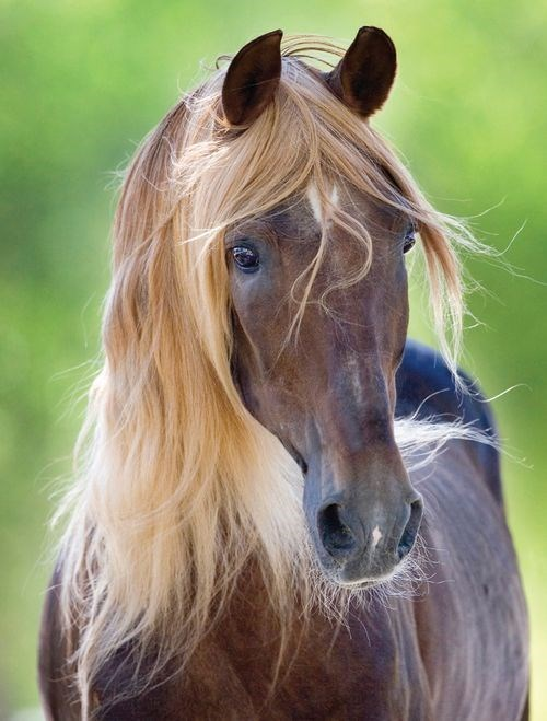 brown horse with flaxen hair