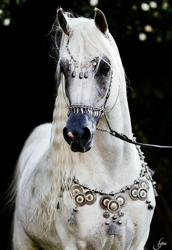 white arabian horse decorated with silver jewellry and a silver bridle