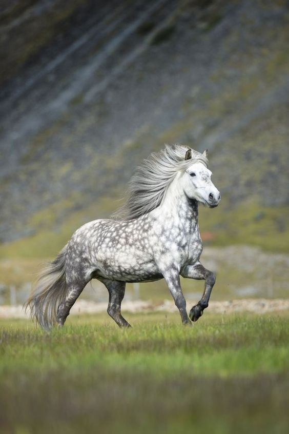 mottled white and grey icelandic horse running through grass
