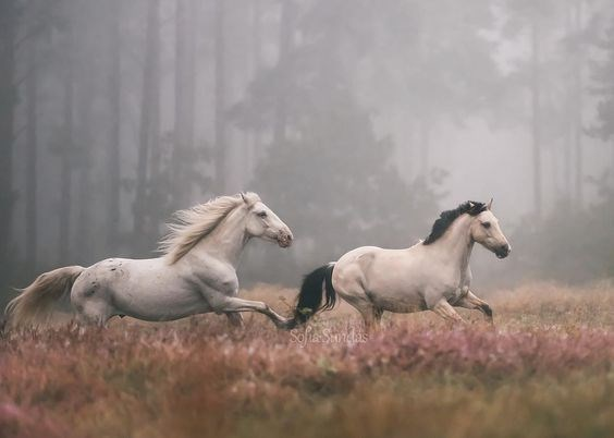 two beautiful white horses chasing each other in a magical looking forest