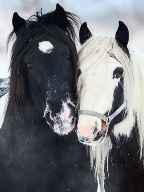 black and a white faced horse with their heads together