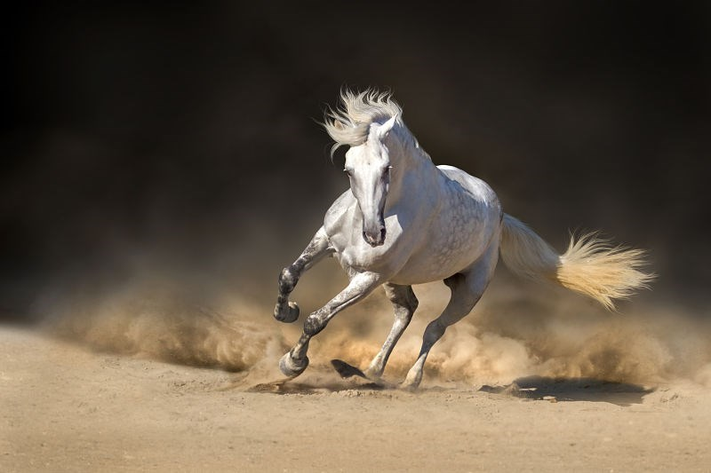 white stallion horse galloping furiously kicking up the dust behind it