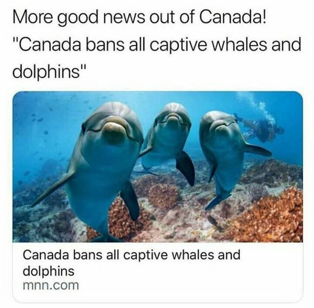 "wholesome meme - Dolphin - More good news out of Canada! ""Canada bans all captive whales and dolphins"" Canada bans all captive whales and dolphins mnn.com"