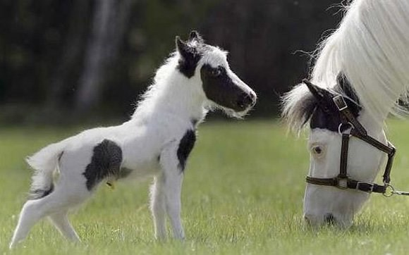 tiny white baby horse with black spots in front of its mother's head