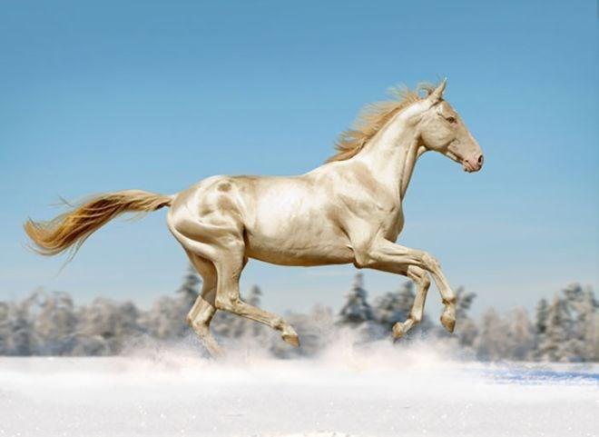 white akhal-teke horse running through the snow
