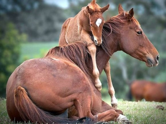 chestnut mare with her foal standing with one leg around her neck
