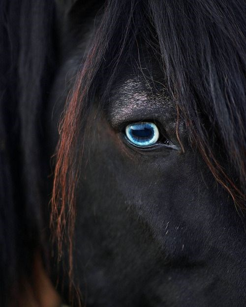 close up of a black horse's blue eye