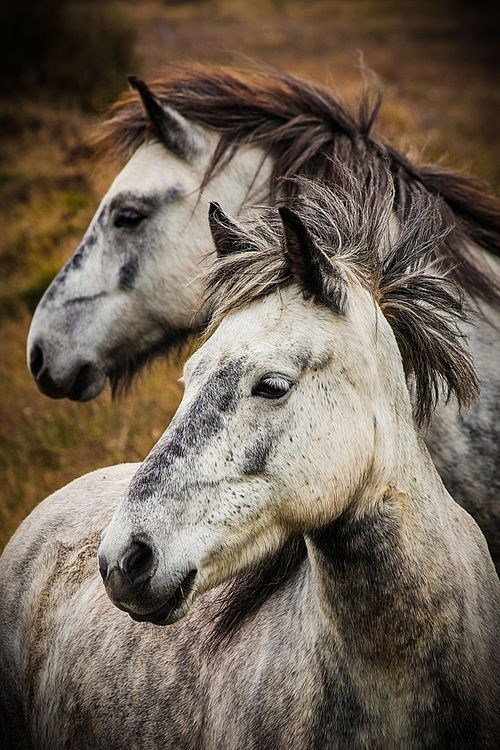 pair of mottled grey and white horses