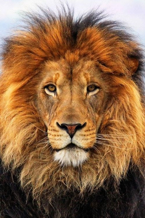 a majestic picture of a male lion with a large orange mane looking into the camera