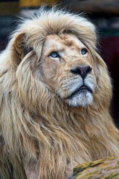 a majestic picture of a sandy colored male lion with blue eyes