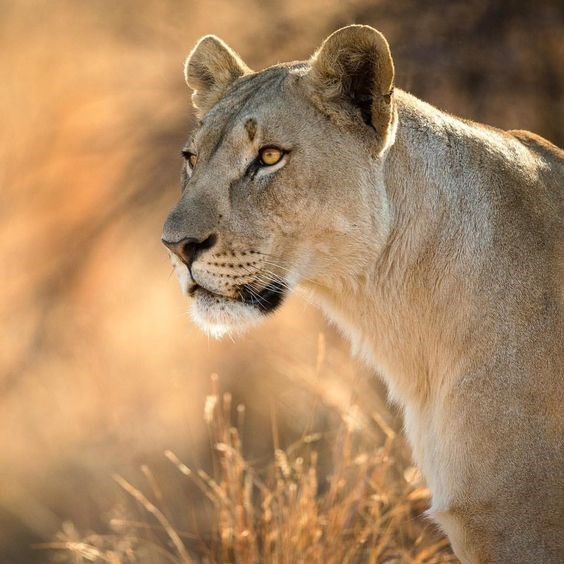 a majestic picture of a lioness looking at something while she stands in dry grass