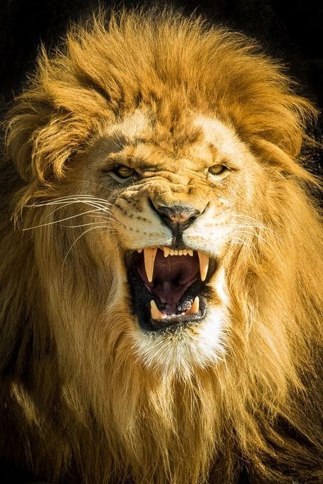 a majestic picture of a lion roaring