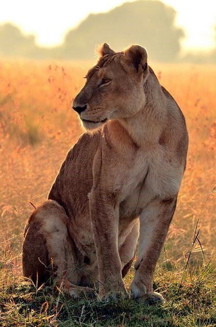 a majestic picture of a lioness sitting among the landscape at sunset