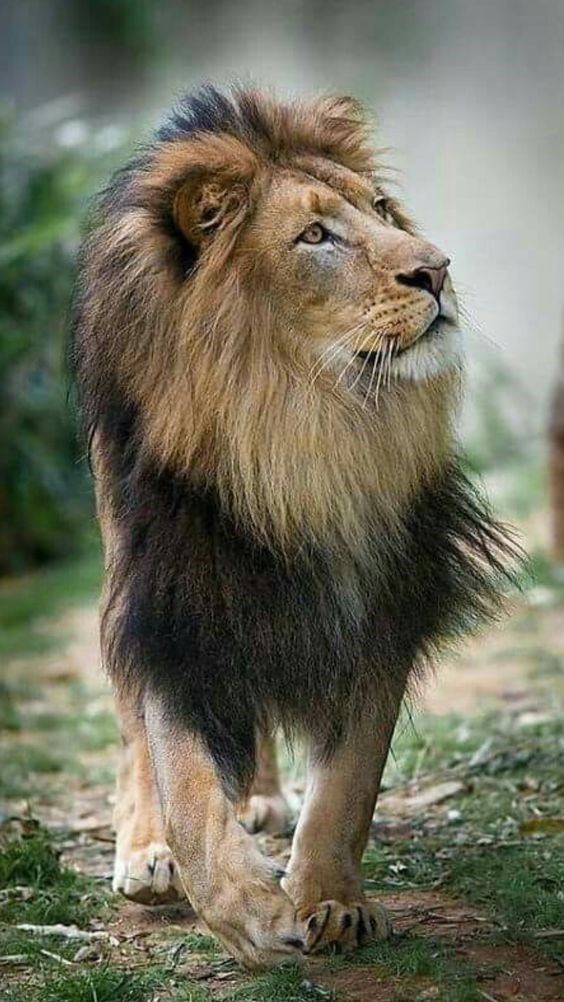 a majestic picture of a grown male lion with a black mane walking and looking at something to the side