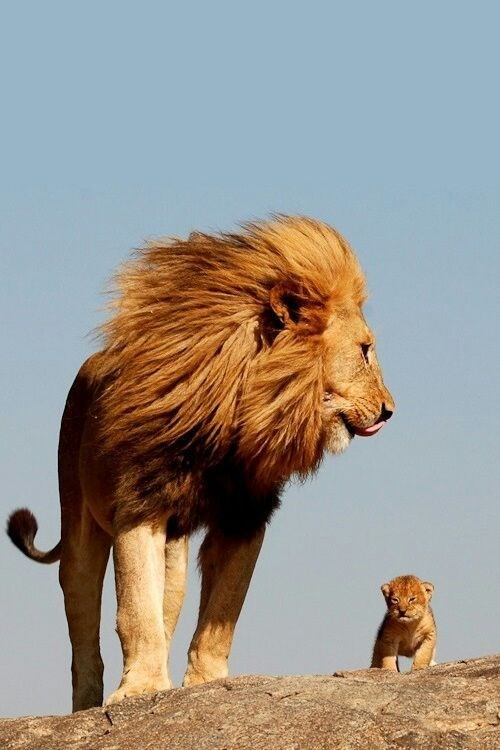 a majestic picture of a large adult male lion with a big mane standing next to a tiny lion cub and looking at it