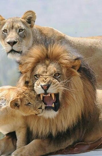 a majestic picture of a male lion lying down, a female lioness standing behind him and a lion cub rubbing its head on the male lion