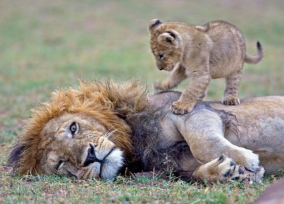 a cute picture of a male lion lying on the grass with a small lion cub standing on it and playing