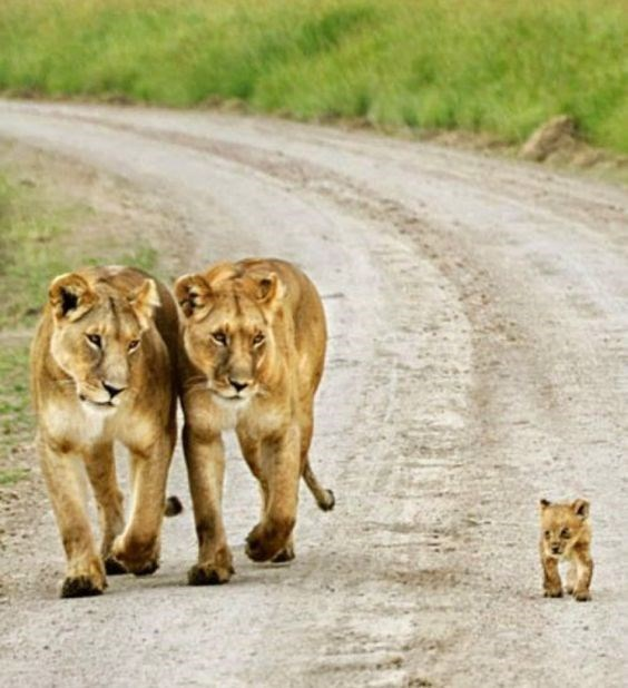 a beautiful picture of two lionesses walking and looking at a tiny lion cub