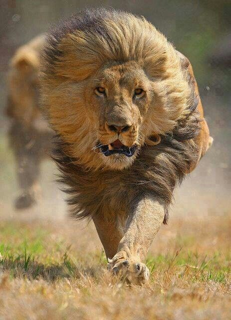 a majestic picture of a grown male lion running towards the camera