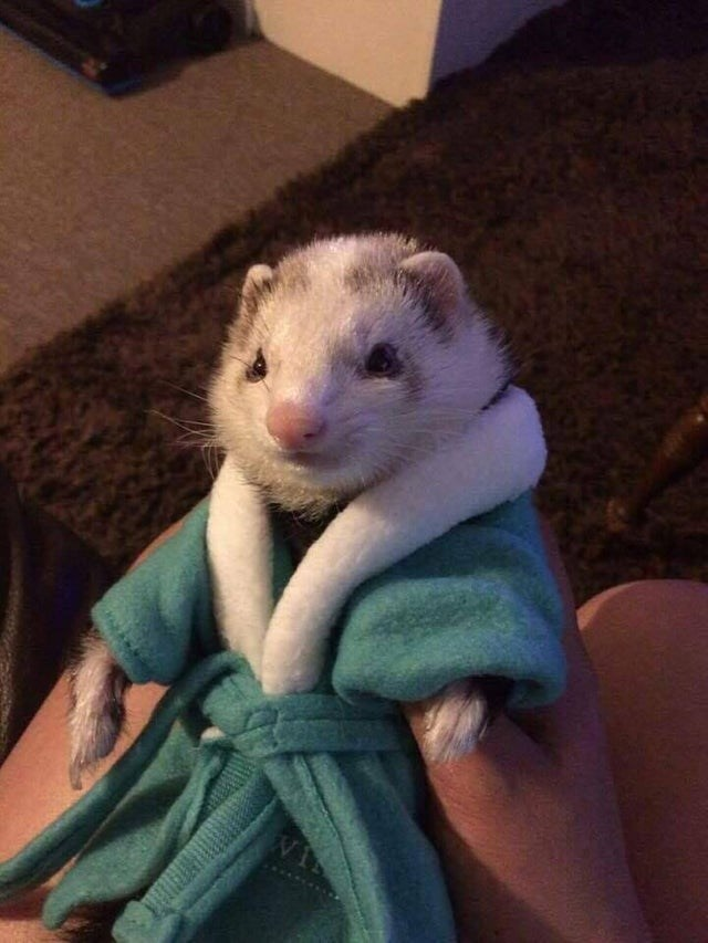 Ferret dressed dashing in a bath robe