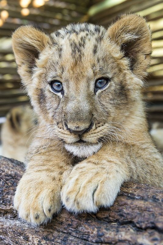a cute picture of a fluffy lion cub with blue eyes