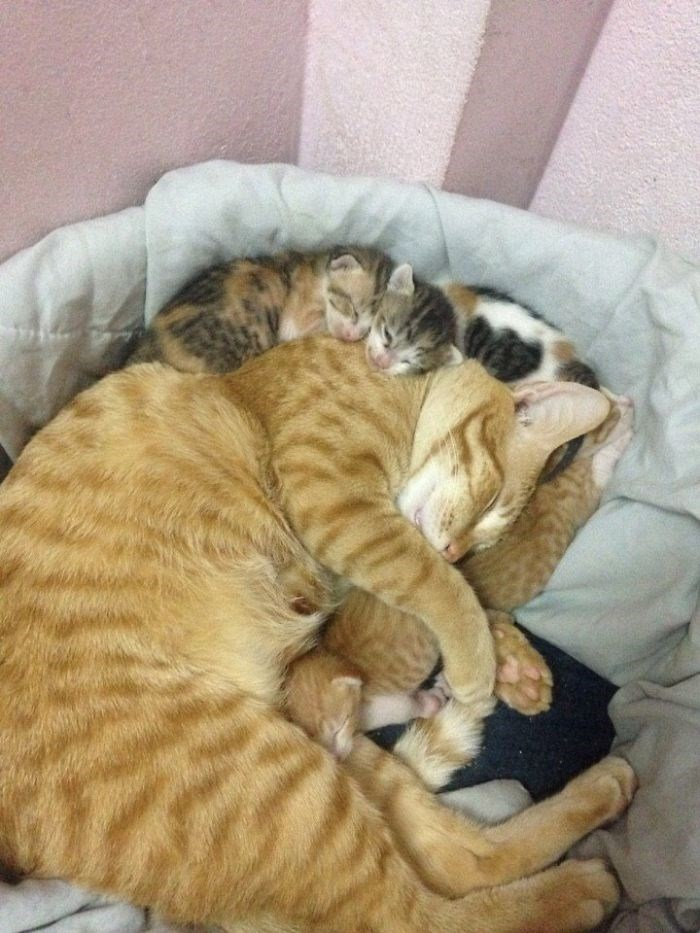 kittens sleeping all over dad cat