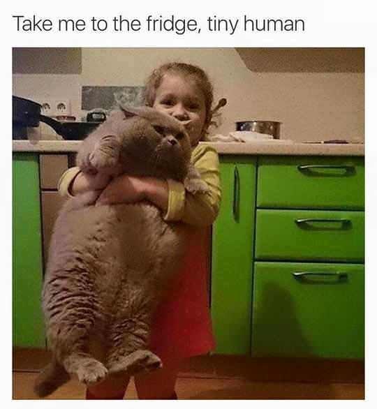 meme chonky Cats funny - 9319832320