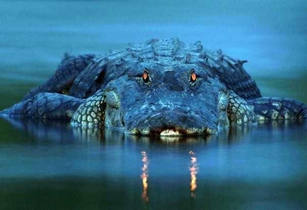 Amazing animal photos - Crocodilia