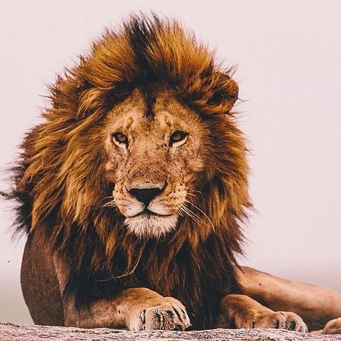 a majestic picture of a grown male lion sitting down relaxing on a rock