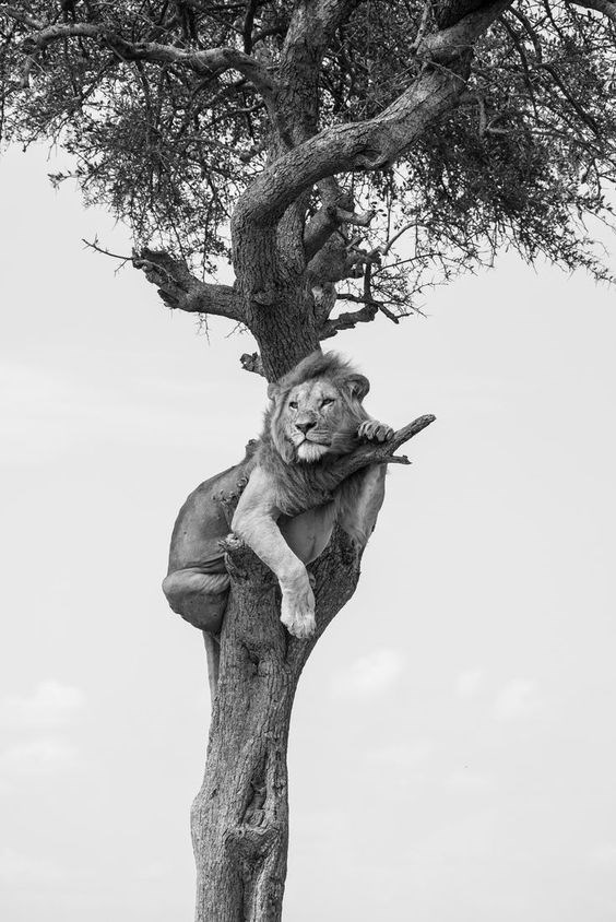 a majestic black and white picture of a lion resting in a tree