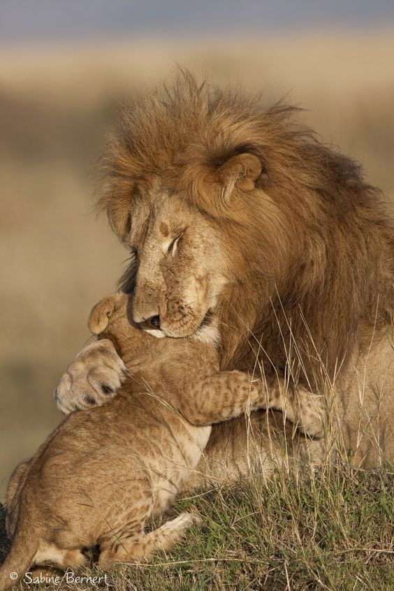 a cute picture of a male lion with his arm hugging a small lion cub