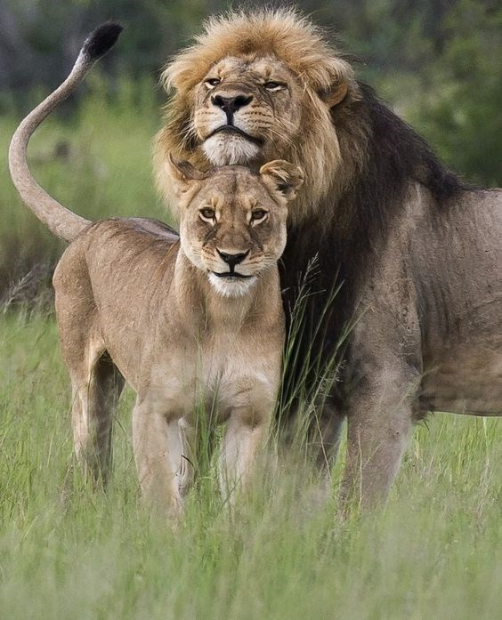 a beautiful picture of a male lion resting its head on a lioness who is standing in front of him