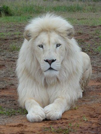 a majestic picture of a white lion sitting on the ground looking at the camera
