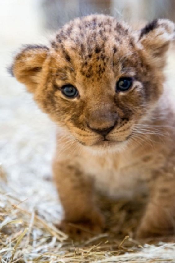 a cute picture of a lion cub with blue eyes