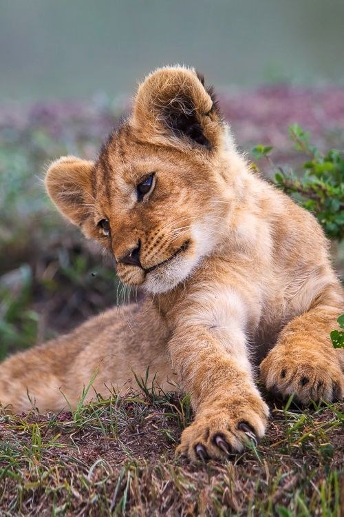 a cute picture of a lion cub being playful on some grass