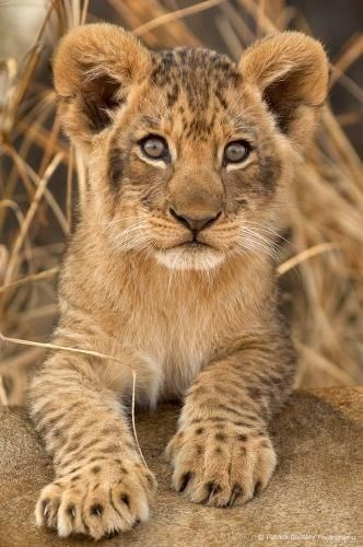 a cute picture of a baby lion cub
