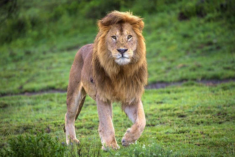 a majestic picture of an adult male lion walking among green grass