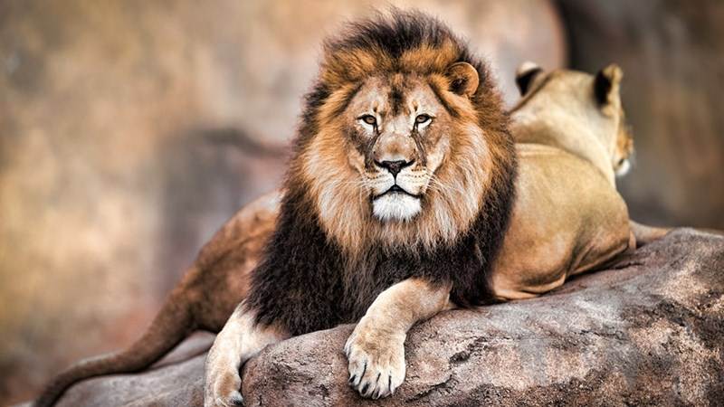 a majestic picture of a mature male lion with a black mane sitting on a rock with a lioness sitting behind him