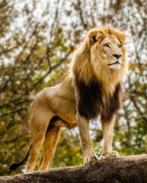 a majestic picture of a grown male lion standing on a rock looking out