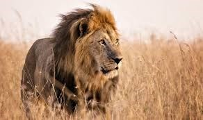 a majestic picture of a lion walking through high dry grass