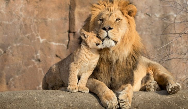 a cute picture of a lion cub rubbing itself against an adult lion that is sitting next to it
