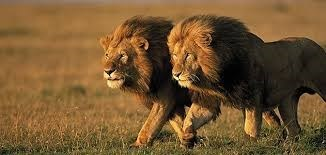 a majestic picture of two grown male lions with big manes walking together