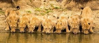 a majestic picture of seven lionesses and nearly-adult lions drinking from a river in a row