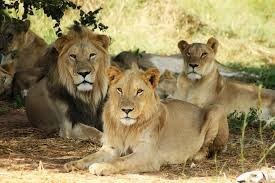 a majestic picture of three lions and lionesses sitting under the shade of a tree