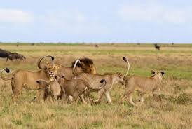 a majestic picture of five lionesses walking around a male lion with their tails in the air